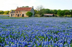 Bluebonnets-and-farm